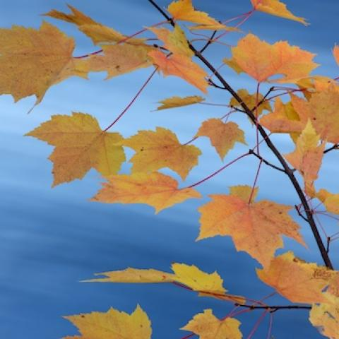 Yellow leaves in front of a bright blue sky